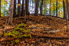 The Maple Tree Roots Offer Border Service To The Fallen Golden Leaves, Central Canada, ON, Canada