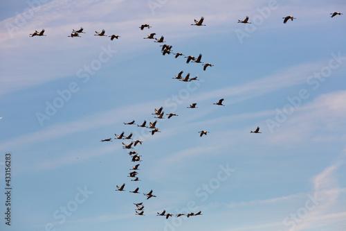 Naklejka premium Large flock of cranes flying in blue spring sky. Bird migration time..