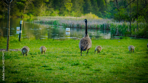 Fotografia Gaggle of geese with baby goslings in Arkansas