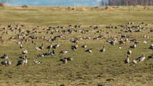 A Migratory Bird Flock In A Goose Field, Landscape Seasonal Bird Migration, Many Wild Geese In A Field In The Latvian Wilderness
