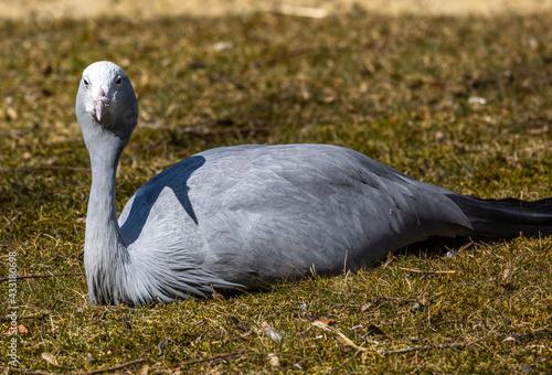 Naklejka premium The Blue Crane, Grus paradisea, is an endangered bird