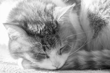Black And White Portrait Of A Sleeping Kitten