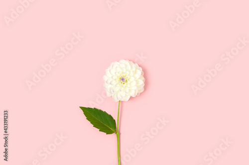 Canvas White dahlia flower with green leaf on a pink pastel background