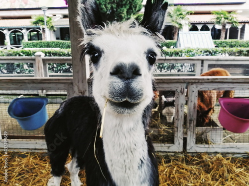 Naklejka premium alpaca cub smiling close up