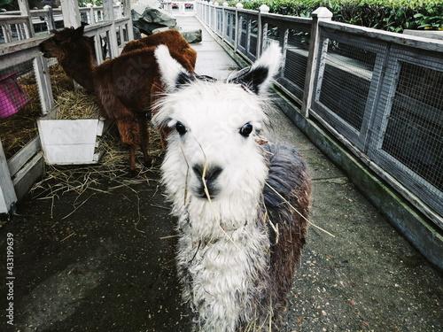 Naklejka premium alpaca cub smiling in full growth
