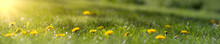 Panorama Of Blurred Yellow Dandelion Flowers On Green Lawn. Bright Spring Background With Sunbeams.