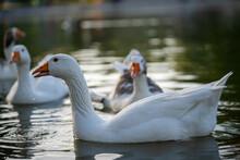 Selective Focus Shot Of White Pekin Ducks Swimming On The Pond