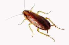 Live Cockroach On A White Background.Isolated On White.