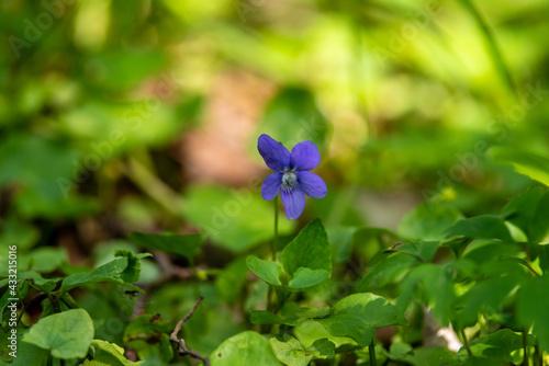 Fototapeta fiołek leśny niebieski na zielonym tle obraz
