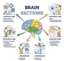 Brain Sections And Organ Part Functions In Labeled Anatomical Outline Diagram. Medical Biological Explanation Scheme With Lobe, Brainstem And Cerebellum Description Vector Illustration. Cerebral Graph