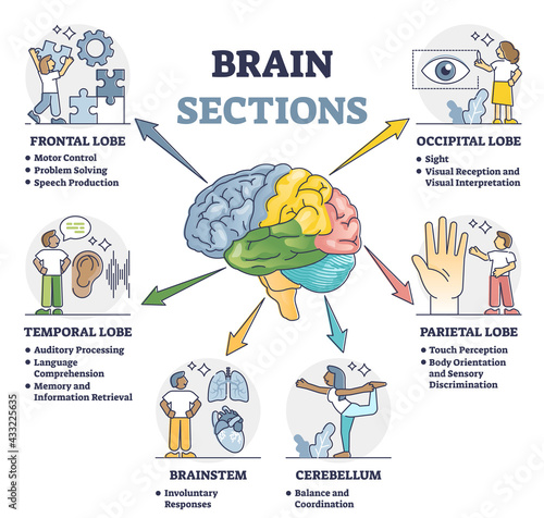 Fototapeta Brain sections and organ part functions in labeled anatomical outline diagram