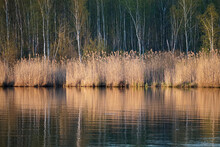 Reeds Near The Shore Of The Lake On A Spring Evening. Reflection Of Trees In The Water. Horizontal Shot.