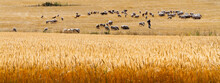 Sheep And Shepherd In A Yellow Field