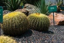 Closeup Shot Of Big Cactuses On The Botanical Garden