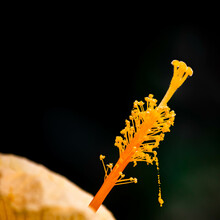 Pistil Of Yellow Hibiscus Flower Isolated On Black Background