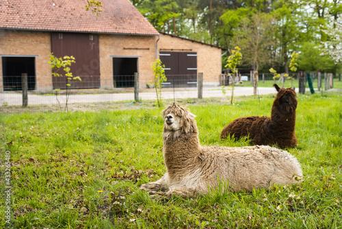 Naklejka premium Zwei Alpakas auf der Weide.