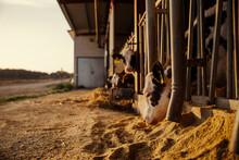 Calves Being Fed In Barn