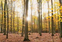 Sun Shining Through Branches Of Forest Trees In Autumn