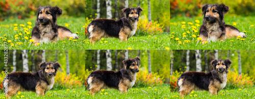 Obraz na plátně mongrel dog on the lawn with dandelions