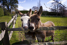 Two Cute Little Donkeys In A Field Looking Over The Fence , Sussex, England