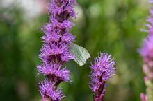 Gonepteryx Rhamni Yellow Butterfly Sitting On Liatris Spicata Deep Purple Flowering Flowers, Purple Beautiful Plant In Bloom