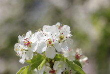 Apple Tree Flowers With Pink Stamens