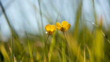 Dos Flores Silvestres Amarillas Juntas En Un Prado De Hierba Verde