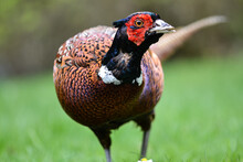 A Pheasant With Feathers Partly Missing On Its Neck