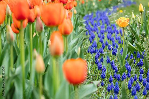 Obraz A meadow full of tulips  - fototapety do salonu
