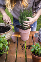 Woman Planting Rosemary Herb Into Flower Pot On Table. Gardening And Planting In Garden At Springtime