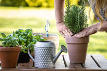 Woman Planting Rosemary Herb Into Flower Pot On Table. Gardening And Planting In Garden At Spring