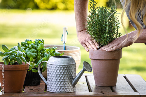 Fotografie, Obraz Woman planting rosemary herb into flower pot on table