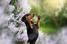 Dachshund Dog Magical Portrait Of A Pet In Lilac Flowers Spring Walk