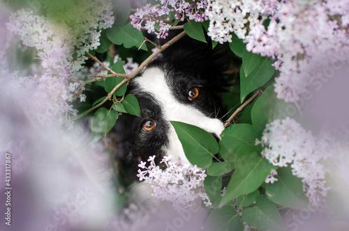Naklejka premium border collie dog magical portrait of a pet in lilac flowers spring walk