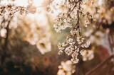 gałąź wiśni kwitnąca kwiat wiśni