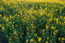 Field Of Bright Yellow Rapeseed In Spring.