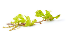 Blooming English Oak (Quercus Robur) Isolated On White Background. Oak Blossom Close Up
