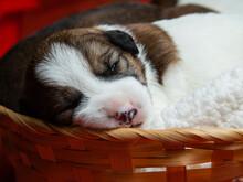 Parson Russell Terrier Puppies Are Sleeping. Newborn Puppies