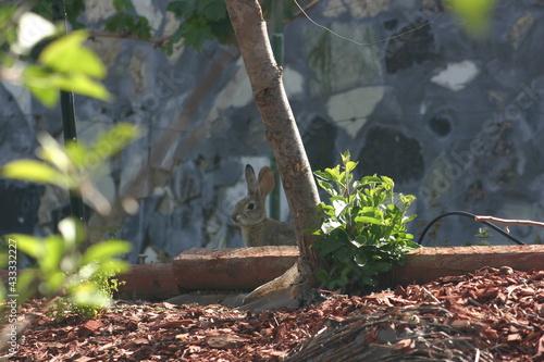 Fototapeta Rabbit Invading Garden but So Cute!