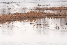 White Pelican Resting In A Bayou Along The Mississippi River