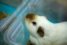 Guinea Pig, Cavia Porcellus Red On Litter Of Sawdust In A Boxing Cage Selective Focus , Defocused