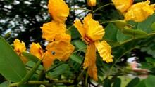 Planta Tipuana Tipu - Amendoim Acácia
