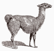 Llama, Lama Glama In Profile View, After An Antique Engraving From The 19th Century