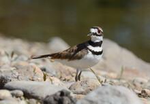 Killdeer Bird Or Charadrius Vociferus Standing On Rocky Lake Shore
