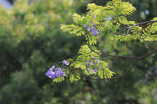 A Lilac Flowers On Branch Of Jakaranda Blooming Tree At Sprint Time