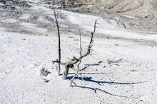 Dead Tree Embedded In Scenic Calcium Carbonate Deposits In The Travertine Terraces Of Mammoth Hot Springs In The Northwestern Corner Of Yellowstone National Park