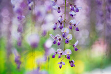 A Closeup Shot Of Wisteria Flowers Blooming In Ashikaga Flower Park, Ashikaga, Tochigi. Back In 2014, CNN Selected The Park As One Of The 10 Dream Destinations In The World.