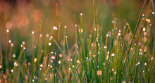 Summer Background, Green Grass With Dew Drops Illuminated By The Sun.