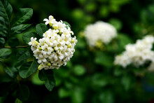 Murraya Paniculata Flower, Close Up