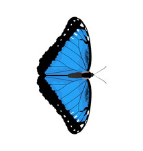 Morpho Peleides - Peleides Blue Morpho - Dorsal View - Flat Vector Isolated